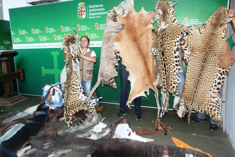 Al igual que los colmillos, está prohibido el tráfico de pieles. En junio del 2014 la Gobernación de Santa Cruz incautó 80 cueros de animales como jaguares, pumas, trigillos, zorros, lagartos, entre otros. Foto: Gobernación de Santa Cruz.