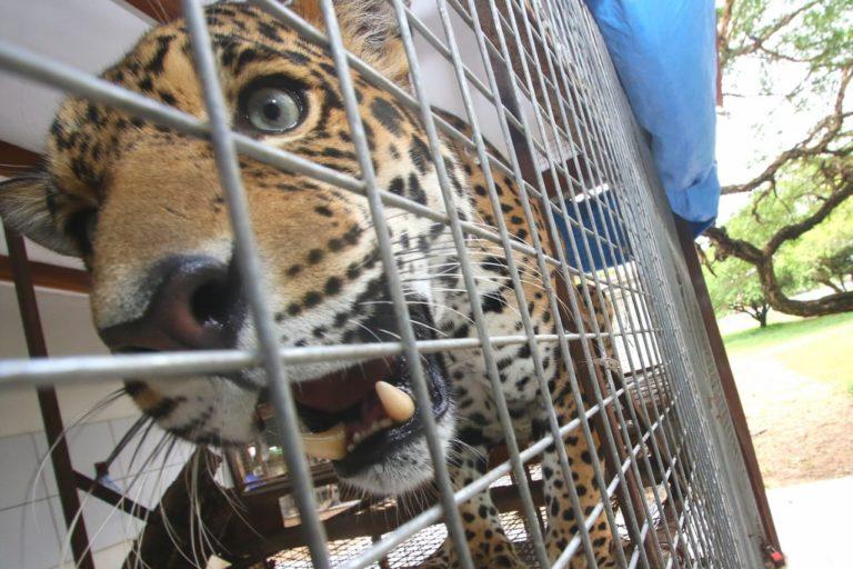 Con pocos meses de vida, en 2017 este cachorro de jaguar era ofrecido a través de internet por 800 dólares. Fue rescatado por la Gobernación de Santa Cruz, Bolivia. Foto: Hernán Virgo.