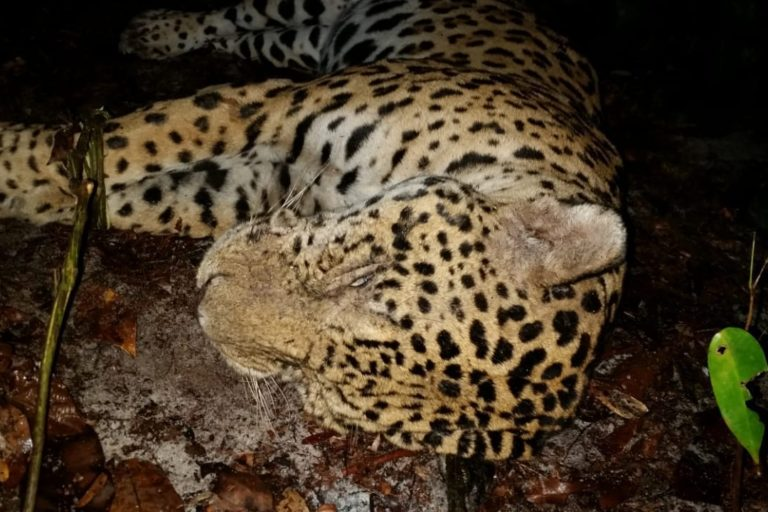 El jaguar es una especie Vulnerable en Surinam debido a su caza furtiva. Foto: World Animal Protection.