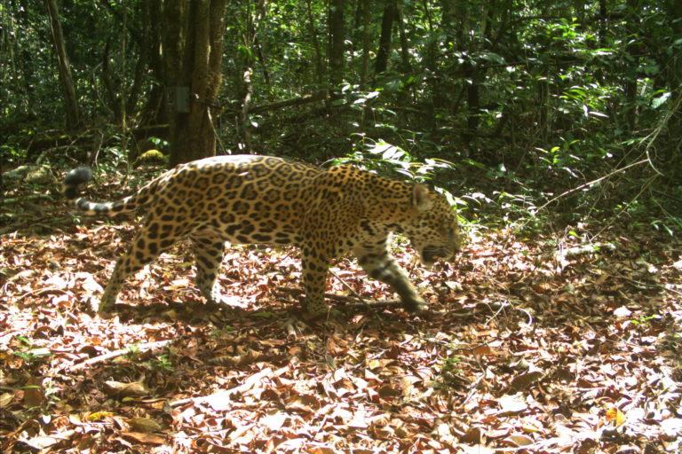 Amalia era la jaguar que más apariciones tuvo en las cámaras trampa de Vanessa Kadosoe, en el Parque Natural Brownsberg. Pero desde febrero del 2020, la científica no volvió a verla. Foto: Institute for Neotropical Wildlife and Environmental Studies (NeoWild).