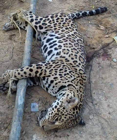 La caza furtiva del jaguar ocurre cerca de zonas mineras y madereras. Sus captores luego deben recorrer varios kilómetros para llevar al animal a los intermediarios. Foto: World Animal Protection.