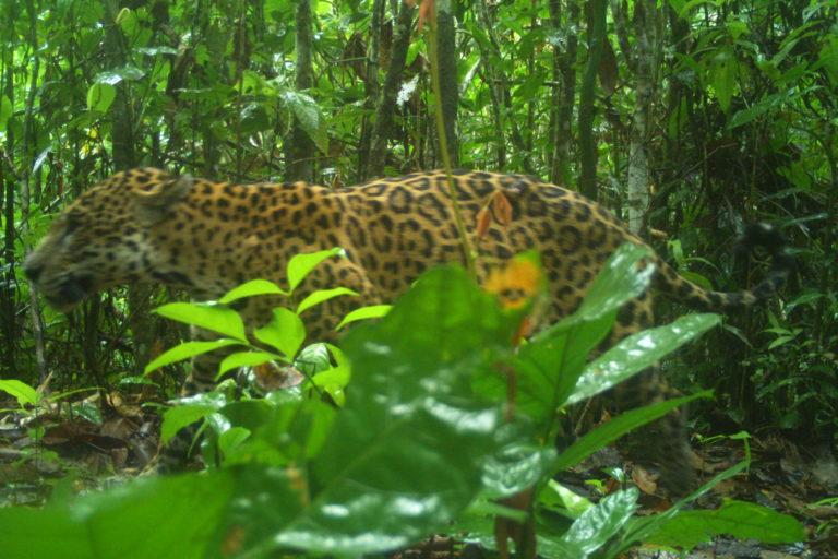 Organizaciones como Panthera también han realizado estudios para medir la población de jaguar en este país sudamericano. Foto: Panthera Surinam.