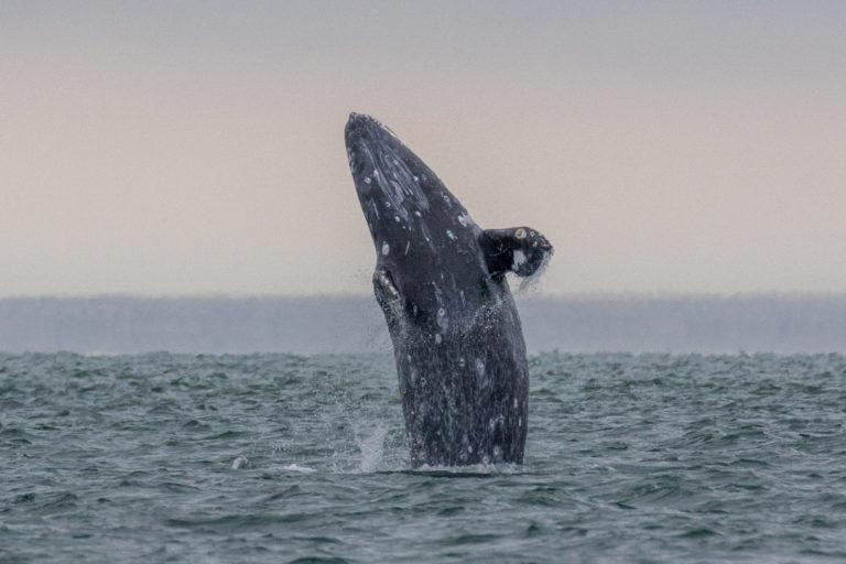 La ballena gris se ha convertido en una especie bandera de la conservación en el norte de México. Foto: Oceana.