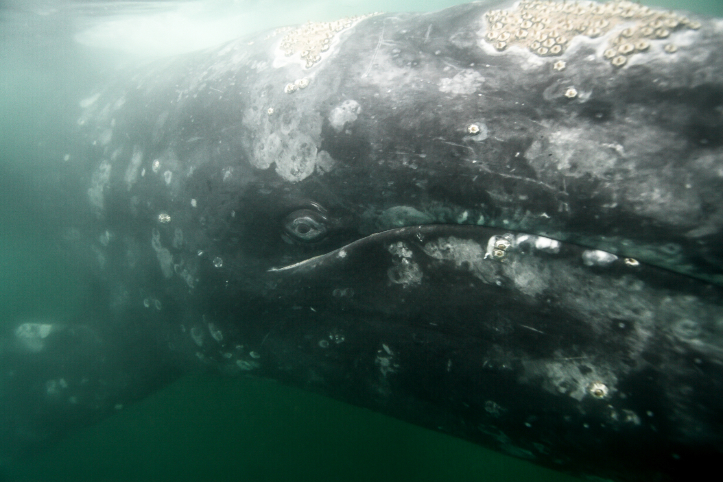 Las ballenas grises viajan alrededor de 18.000 kilómetros al año alimentándose cerca de las costas. Foto: Oceana.