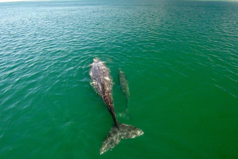 Las ballenas grises procrean en el Pacífico de México y viajan con sus crías hasta el norte del continente. Foto: Oceana.