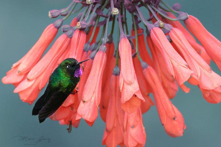 colibrí Heliangelus exortis. Foto: @MemoGomezFoto en Twitter.