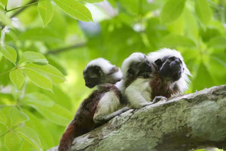 Tití cabeciblanco con dos crías en relicto de bosque. Foto tomada por Joao Marcos Rosa.