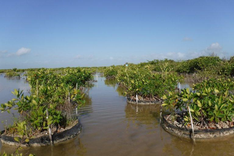 Manglar reforestad2020. El manglar reforestado en 2017 ha crecido gracias al trabajo de los investigadores. Foto: cortesía Jorge Herrera.o (2020) luego de 3 años de trabajo. Foto: cortesía Jorge Herrera.