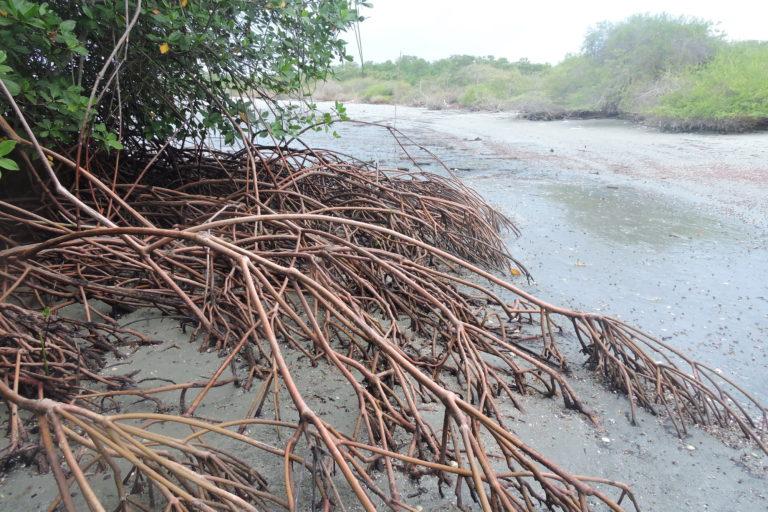 Raíces de manglar. Foto: Fausto López.