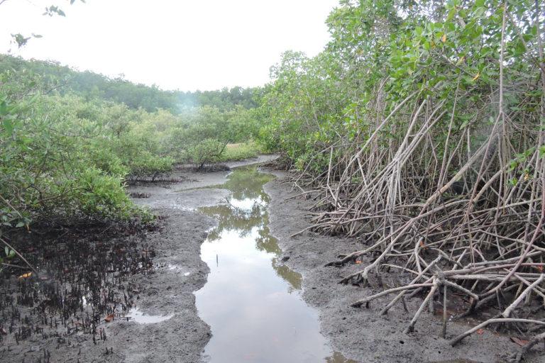 Ecosistema de manglar en Ecuador: Foto: Fausto López.