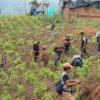 Caldono no es el municipio del departamento de Cauca donde se siembra más hoja de coca, pero allí los cultivos de uso ilícito han ido en aumento. Las organizaciones indígenas promueven su erradicación. Foto cortesía de CRIC.
