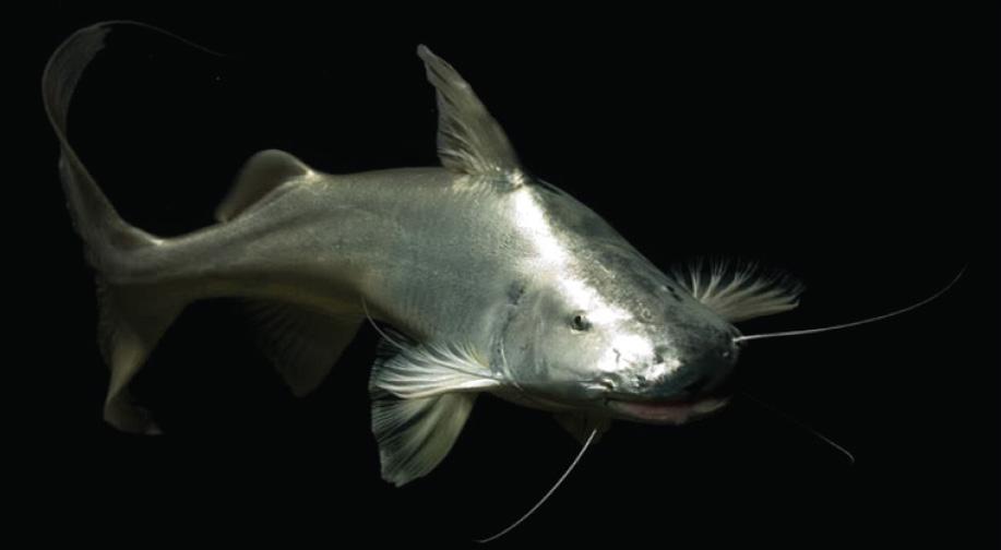 La cantidad de dorados y otros peces migratorios está disminuyendo en la cuenca amazónica y en los ríos de todo el mundo. Foto: Periodistas por el planeta.