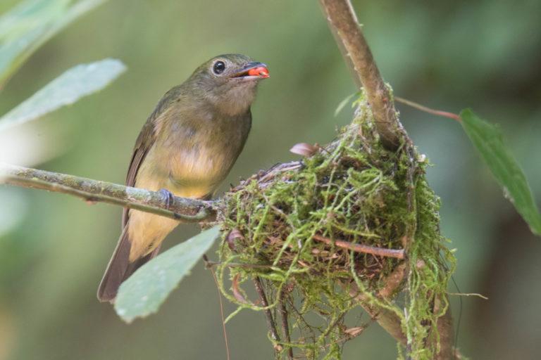 Cryptopipo holochlora. Saltarín. Foto: Carlos Bran-Castrillón - Uraba Nature Tours.