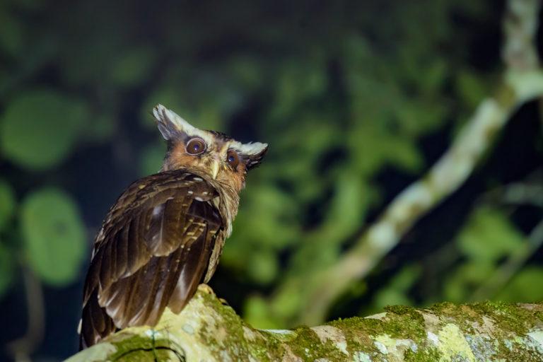 Lophostrix cristata. Búho corniblanco. Foto: Hugo Herrera - Sociedad Ornitológica de Córdoba - SOC.