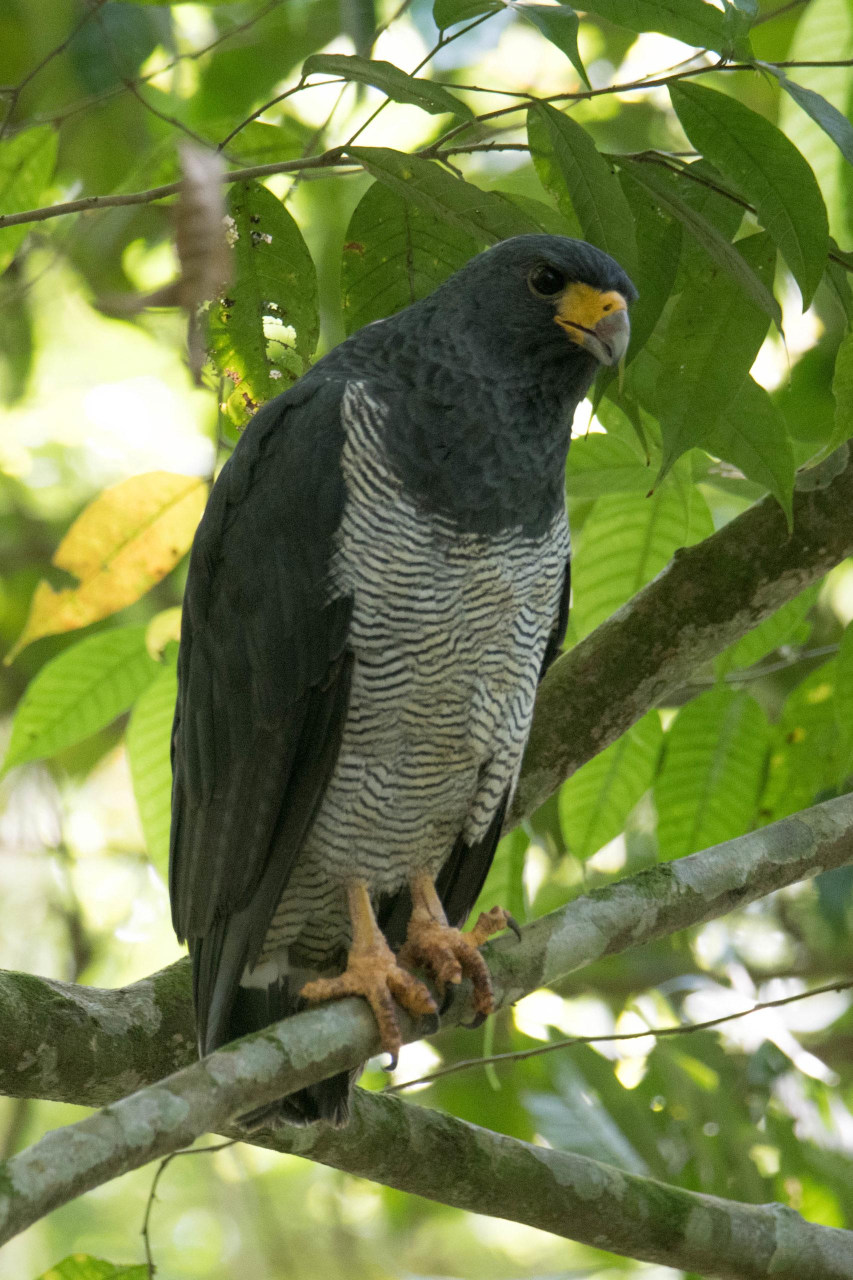 Morphnarchus princeps. Águila príncipe. Foto: Carlos Bran-Castrillón - Uraba Nature Tours.