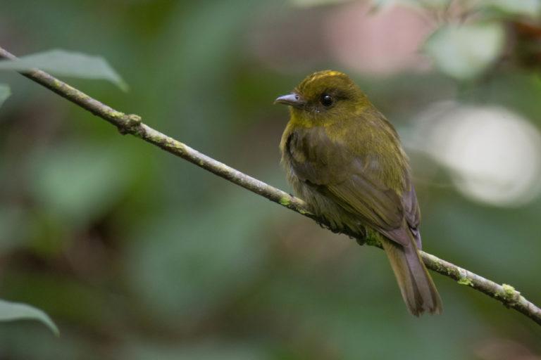 Sapayoa aenigma. Picoancho. Foto: Carlos Bran-Castrillón - Uraba Nature Tours.