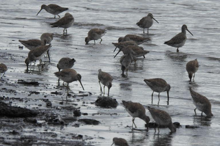 Aves playeras migratorias. Foto: Asociación Calidris.