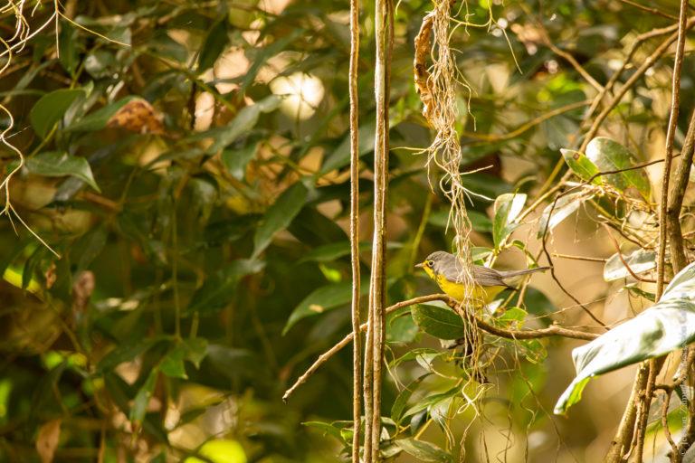 Reinita de Canadá (Cardellina canadensis). Foto: Asociación Calidris.