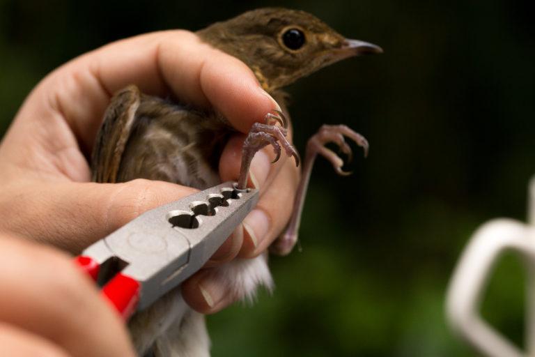 Aplicando un anillo de metal en una especie migratoria, Catharus ustulatus. Foto: Pablo Garrido.
