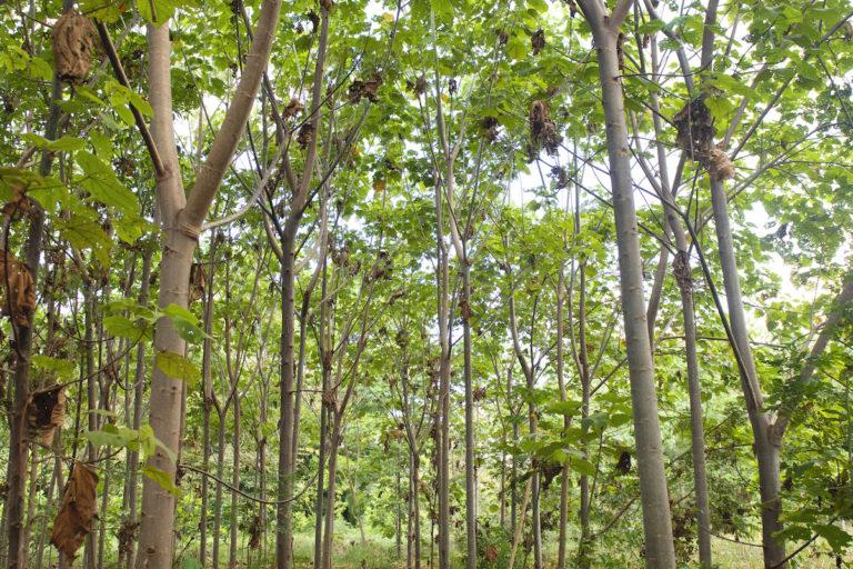 Las parcelas donde predominan los árboles de balsa exhiben sombra y hojarasca, lo cual favorece las condiciones para la colonización por parte de otras especies cuyas semillas son dispersadas por el viento o la fauna. Foto: Nina Cordero.