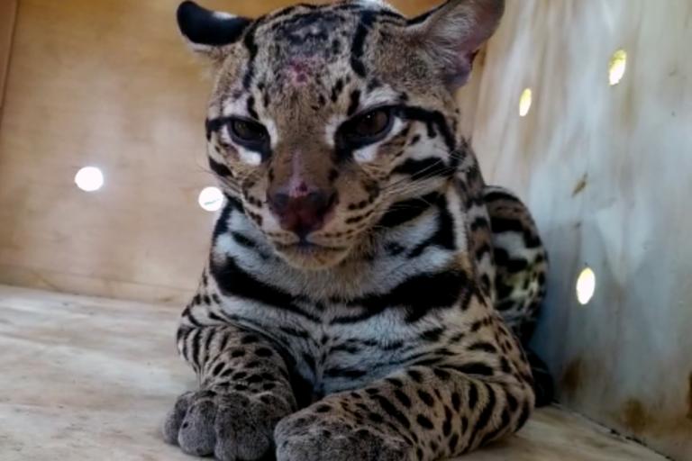 Ocelote (Leopardus pardalis) capturado con jaula trampa en la vereda Palmarito de Cúcuta, en noviembre de 2020. El ejemplar fue liberado en zona boscosa del Catatumbo. Foto: Corponor.