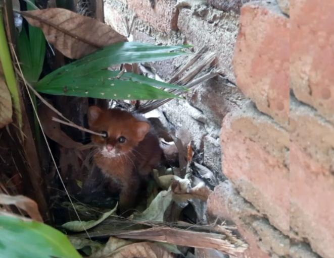En una casa del barrio La Ilusión de Cúcuta, se encontró en febrero de 2021 a este cachorro de gato de monte (Herpailurus yagouaroundi). Foto: Corponor.