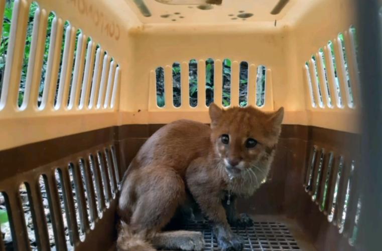 Tras el exitoso proceso de rehabilitación, el gato de monte fue liberado en bosque conservado por la comunidad en Sardinata. Foto: Corponor.