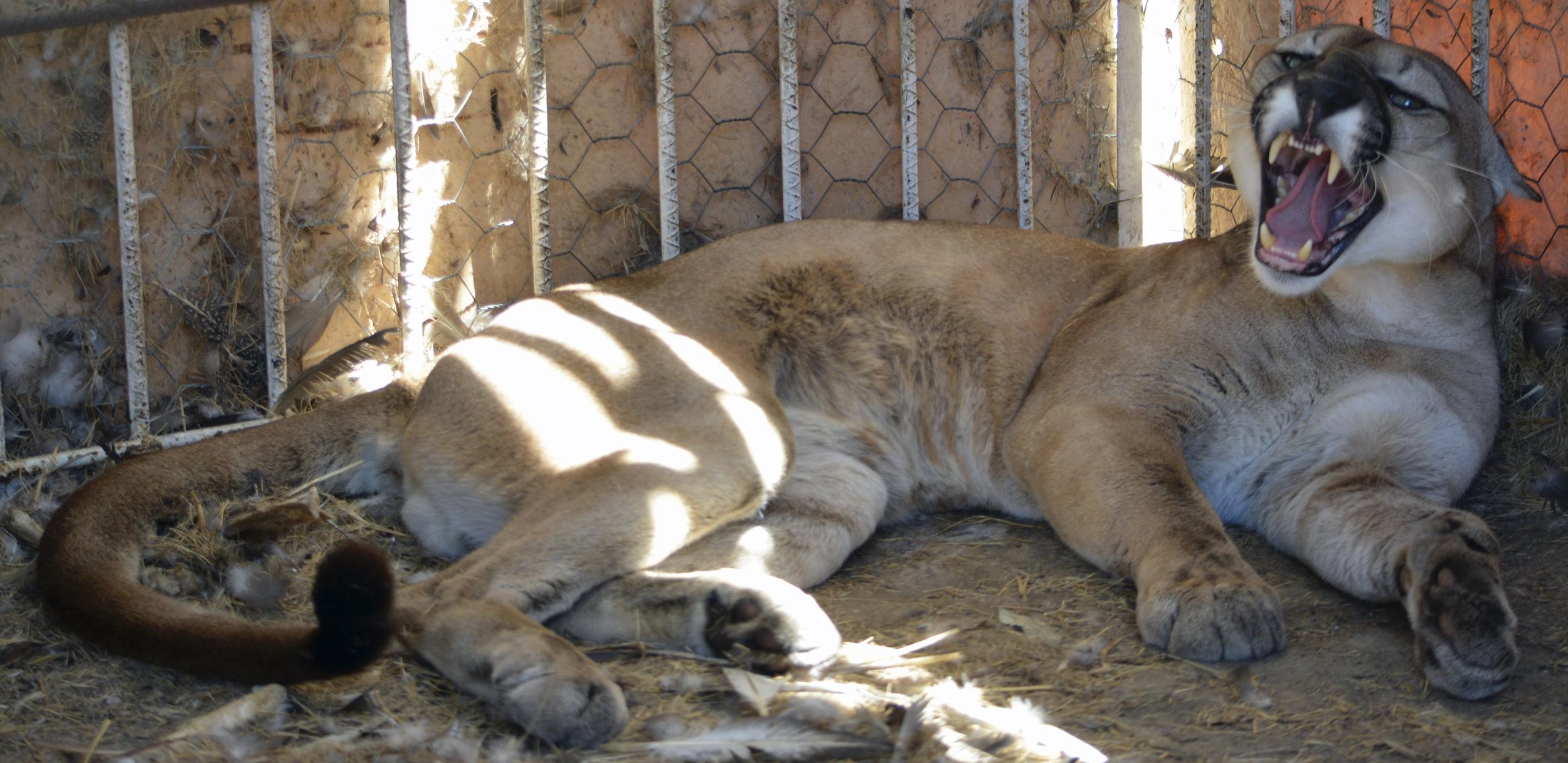 Puma macho adulto que apareció en una vivienda del barrio Magdalena de Cúcuta. Foto: Corponor.
