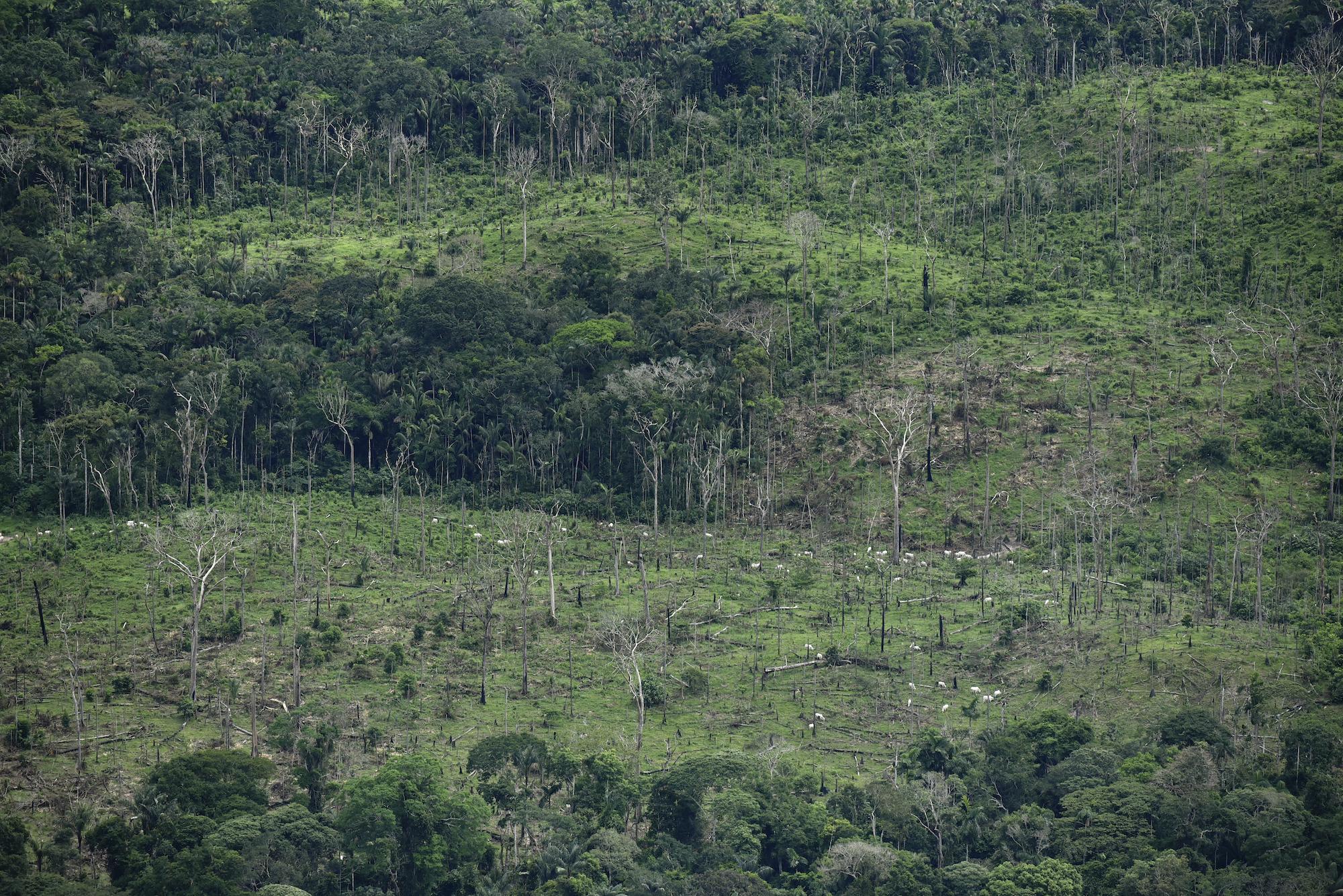 Sobrevuelo en zona deforestada en noroccidente del parque Chiribiquete. Se divisan las vacas en las pasturas. Foto: EIA.