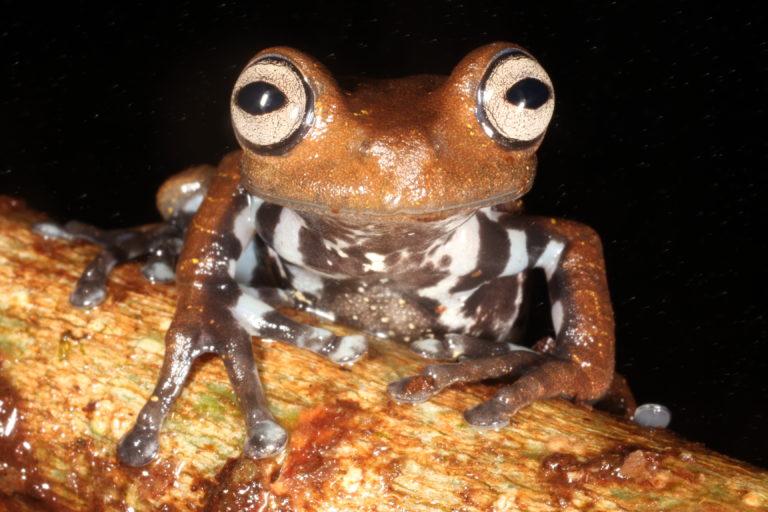 Hyloscirtus psarolaimus. Especie Vulnerable. Foto tomada en la Reserva Biológica Colonso Chalupas. Foto: Mauricio Ortega.