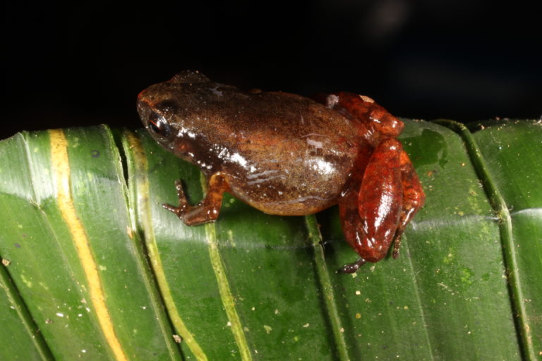 Noblella personina. Especie En Peligro. Foto tomada en la Reserva Biológica Colonso Chalupas. Foto: Mauricio Ortega.