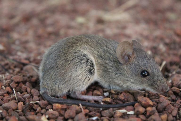 Ratón de caña (Zygodontomys brevicauda). Foto Tania González.
