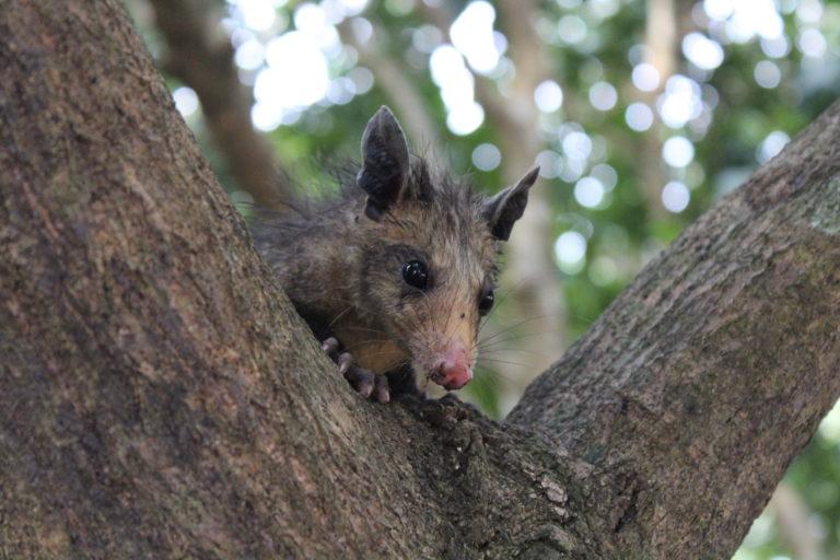 Zarigueya común (Didelphis marsupialis). Foto: Tania González.