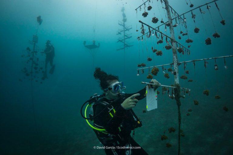 En los viveros de Golfo Dulce, los fragmentos de coral se colocan en este tipo de estructuras. Foto: David García.