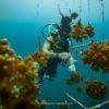 Ante las condiciones favorables, los corales en los viveros de Golfo Dulce crecen rápidamente. Foto: David García.