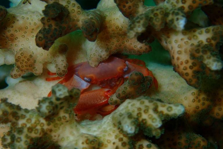 El cangrejo del género Trapezia ha sido uno de los nuevos inquilinos de los arrecifes recién restaurados en Golfo Dulce. Foto: Tatiana Villalobos.