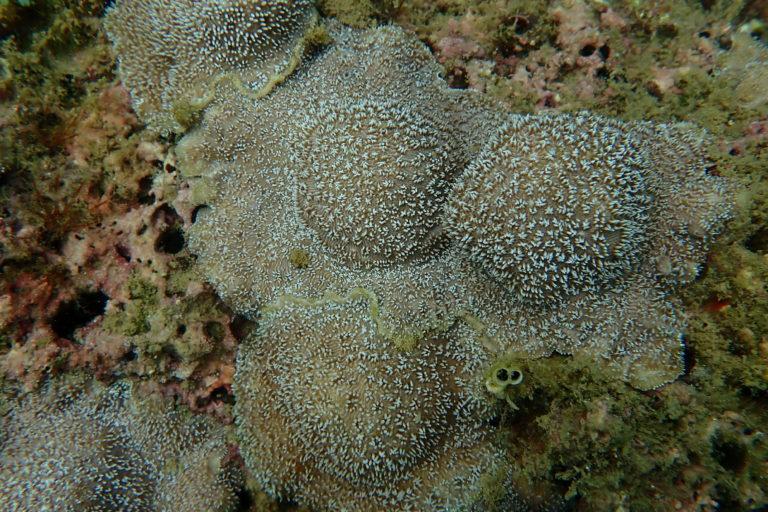 En uno de los puntos de restauración en Punta Islotes, en Golfo Dulce, el tejido de coral vivo va fusionándose poco a poco con la estructura previa. Foto: Joanie Kleypas.