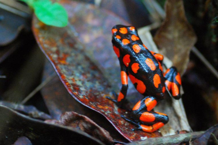 Una rana venenosa en el bosque de Nuquí, Chocó, Colombia. Foto de Mario Carvajal vía Flickr.