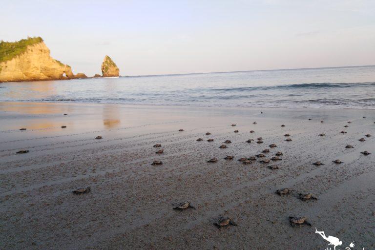 Decenas de tortugas recién nacidas van camino al mar en el parque nacional Machalilla. Foto: Felipe Vallejo - Equilibrio Azul.
