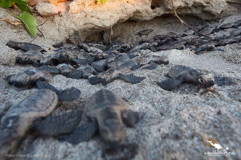 Pequeñas tortugas luego de la eclosión de los huevos. Foto: Felipe Vallejo - Equilibrio Azul.