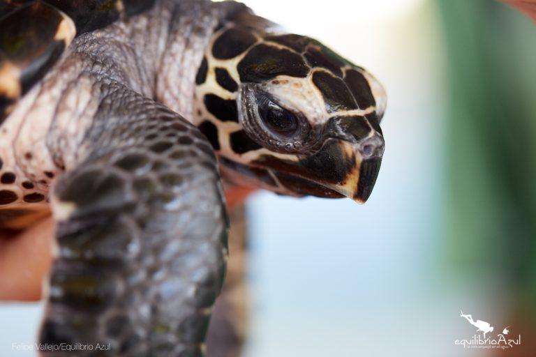 Las tortugas carey, laúd, verde y golfina que anidan en el parque Machalilla están en alguna categoría de riesgo de extinción. Foto: Felipe Vallejo - Equilibrio Azul.