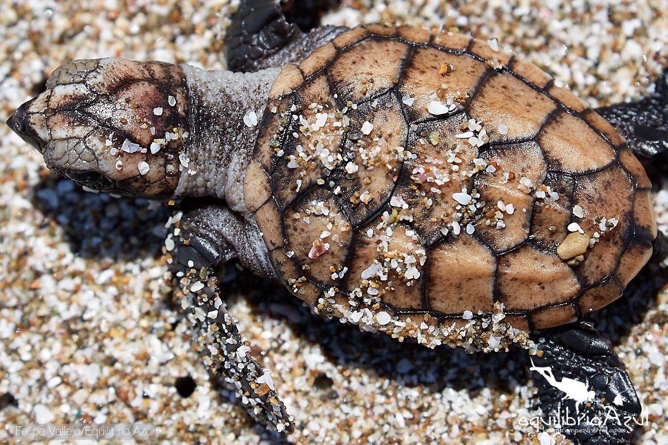 Tortugas nacen en el parque Machalilla. Foto: Felipe Vallejo - Equilibrio Azul.