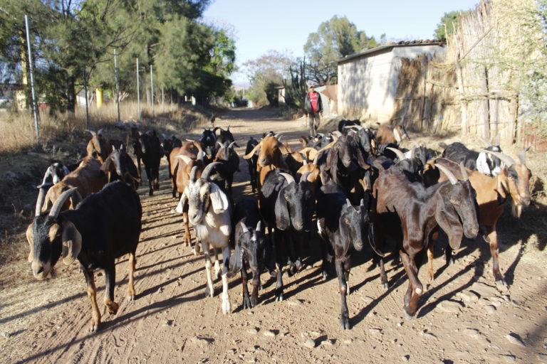 Las cabras de Ortigo presentan problemas en sus ojos posiblemente por el polvo de la minera. Foto: Roxana Romero.