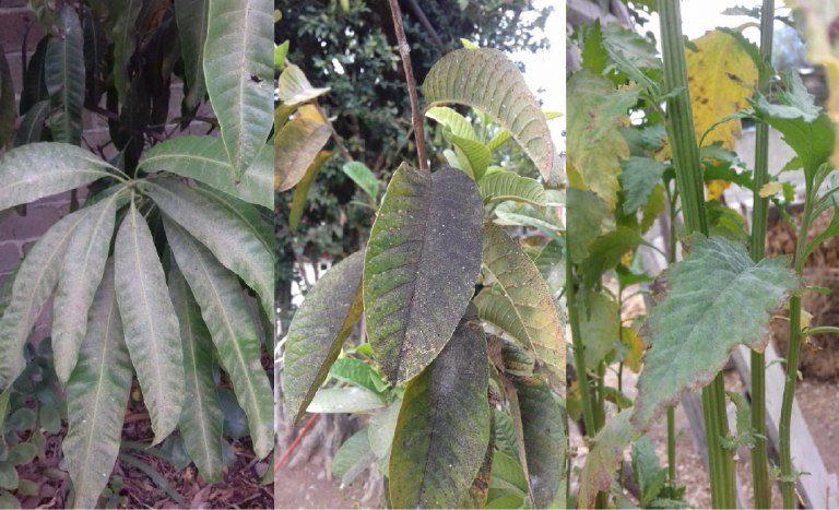 Las hojas de las plantas de diferentes comunidades se caen después de que se adhiere en ellas un polvo negro. Foto: Habitantes de comunidades de Valles Centrales de Oaxaca.