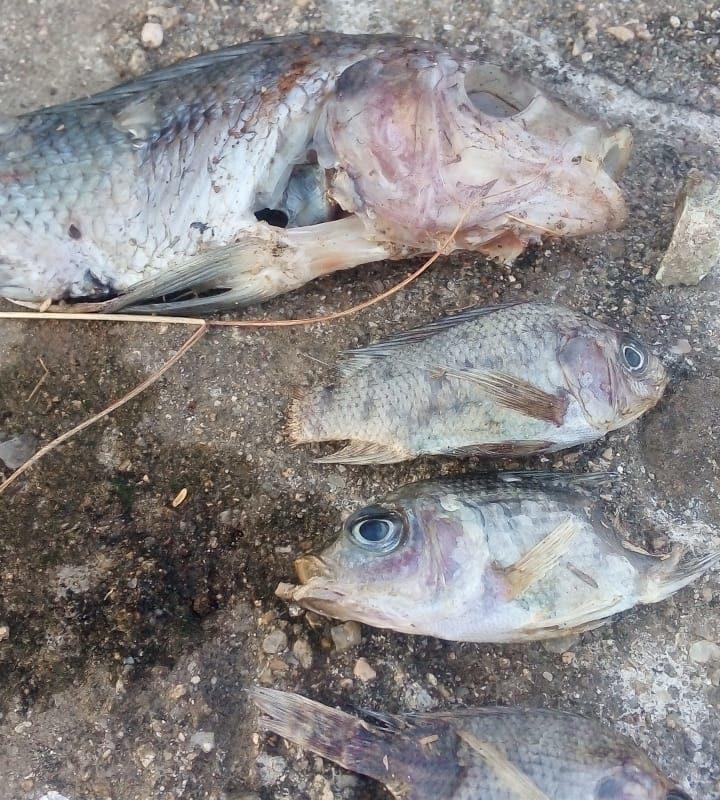 Algunos peces aparecieron sin ojos ni colas en la orilla de una presa de San Pedro Apóstol en 2020. Foto: Habitantes de comunidades de Valles Centrales de Oaxaca.