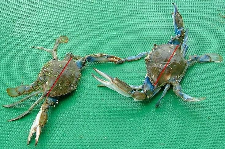 Ejemplares de cangrejo azul empleados en un estudio de Andrade y otros. Publicado en Proceedings of the 62nd Gulf and Caribbean Fisheries Institute, noviembre 2009.
