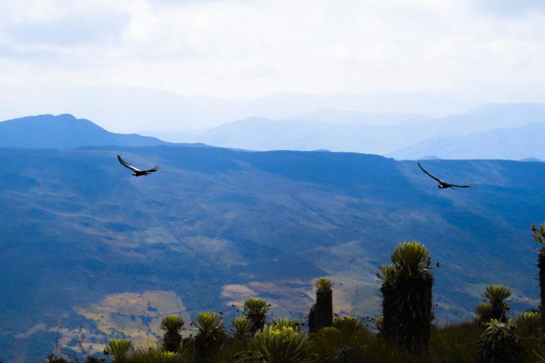 Desde 2019 la Fundación Neotropical le hace seguimiento satelital a dos cóndores. Foto: Fundación Neotropical