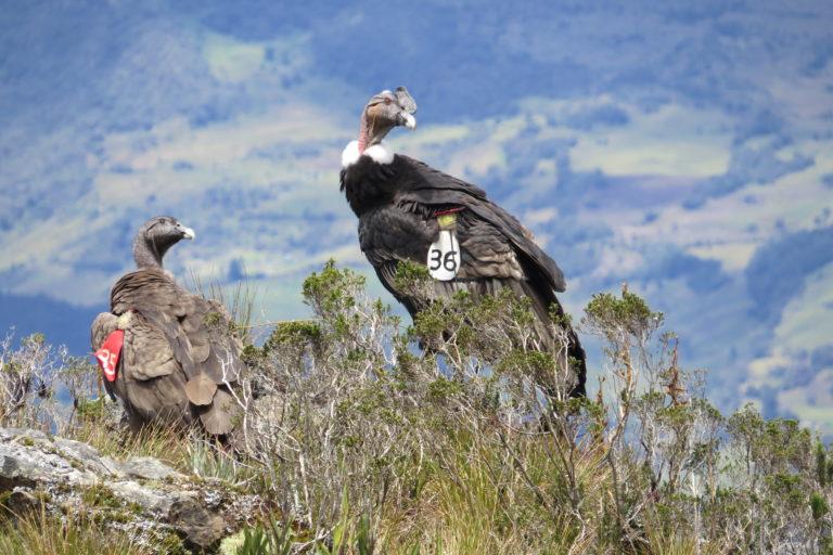 Muchos cóndores liberados desde finales delos ochenta en Colombia han perdido las bandas alares que los identificaban. Foto: Fundación Neotropical.