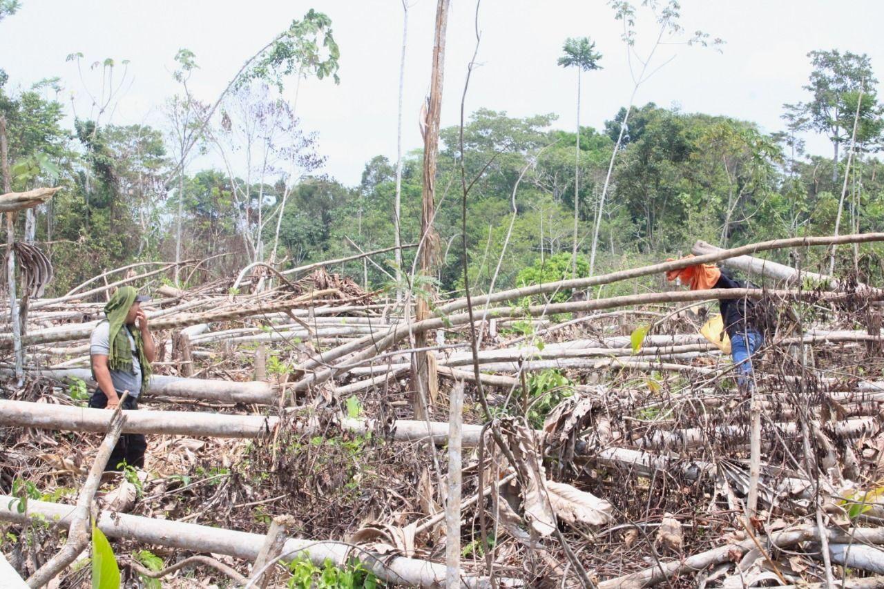 Every day, trees of three different species (Cedrelinga catenaeformis, Cariniana domestica, and Ormosia coccinea) are cut down to make room for coca crops. Image courtesy of FECONAU.
