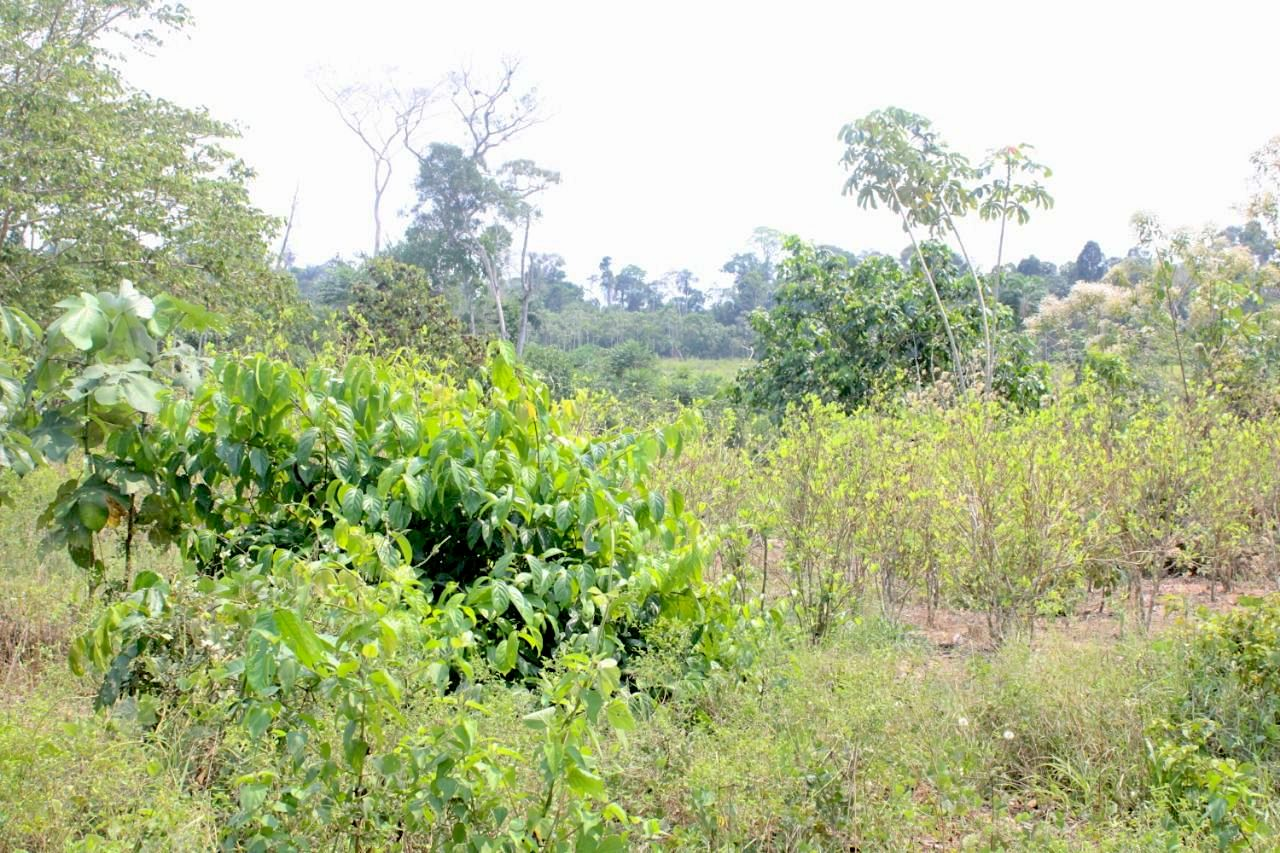 Expanding coca leaf crops are guarded by armed individuals who threaten the Indigenous people of the area. Image courtesy of FECONAU.